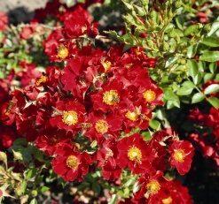 Bienenweide Rot-0