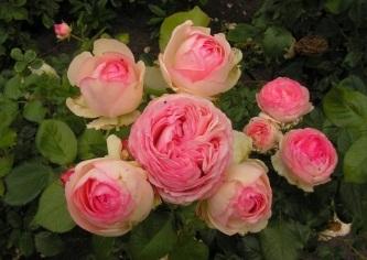 Eden Rose 85®-0