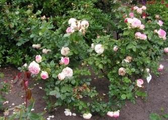 Eden Rose 85®-638