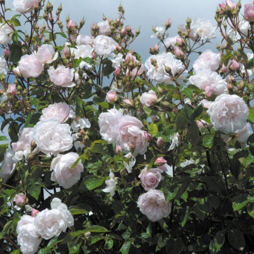 The Generous Gardener® AUSdrawn-3740