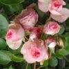 Mini Eden Rose-0