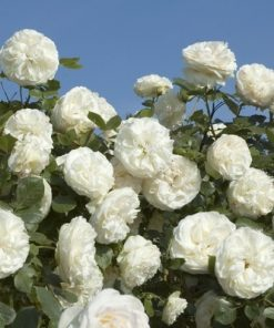 White Eden Rose®-0