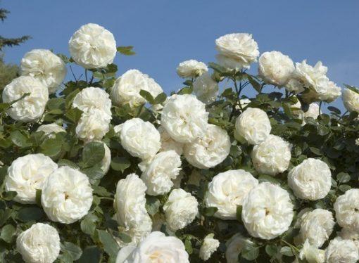 White Eden Rose®-0