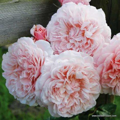 Rose de Tolbiac ®-0