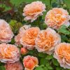 The Lady Gardener ™ (Ausbrass)-0