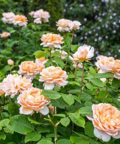 The Lady Gardener ™ (Ausbrass)-3742