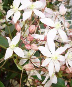 Armandii Apple Blossom-0