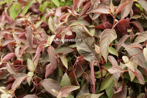 Hydrangea aspera HOT CHOCOLATE-3327
