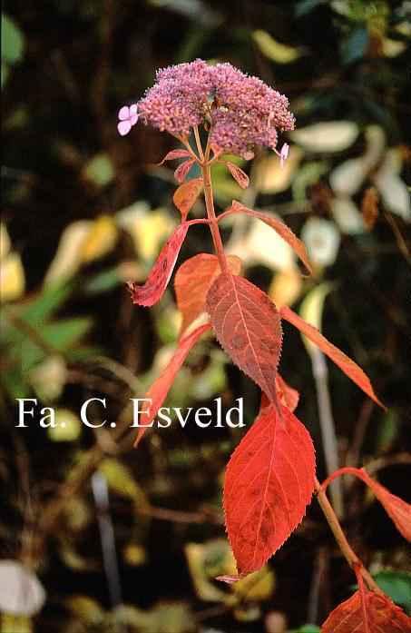 Hydrangea serrata 'Aka tsanayama'-3264