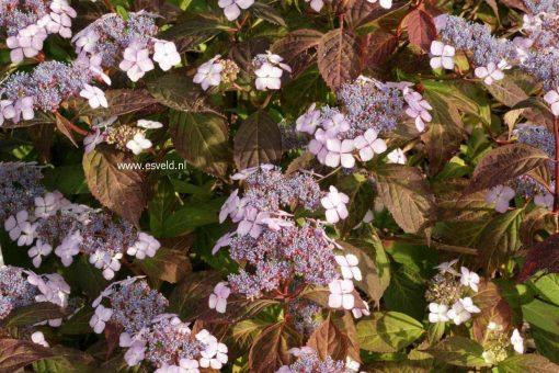 Hydrangea serrata 'Aka tsanayama'-3266