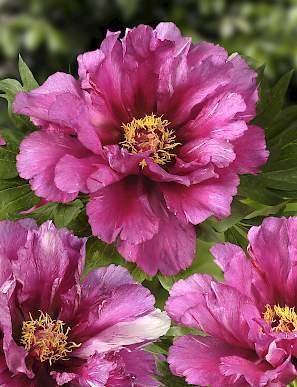 Itoh Morning Lilac -0