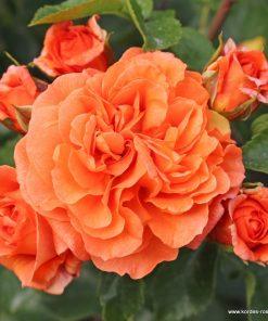 Orangerie ®-0
