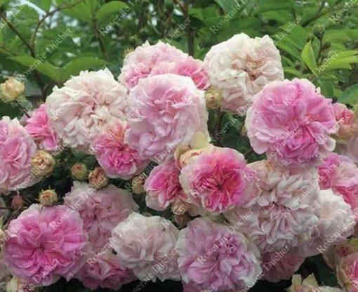 Pink Ghislaine de Feligonde® -0