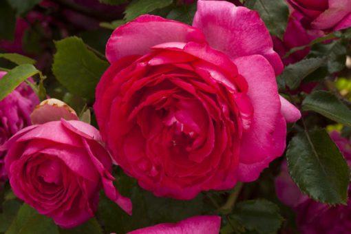 Pink EDEN ROSE®-0