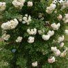 Perfume Dreams®-0