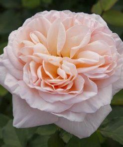 Belle Romantica ®-4082