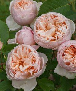 Belle Romantica ®-0